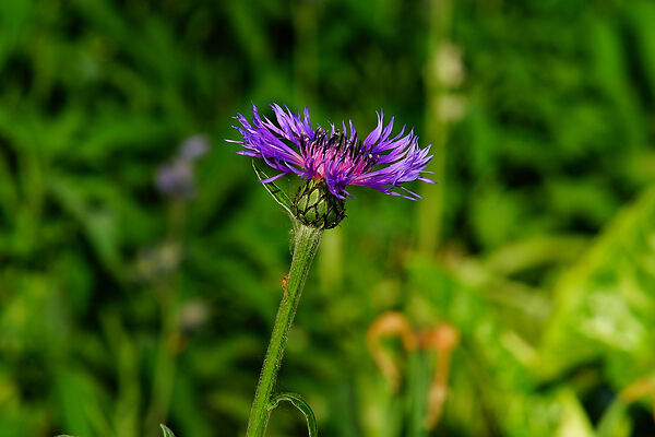 Knapweed Uses In The Wilderness