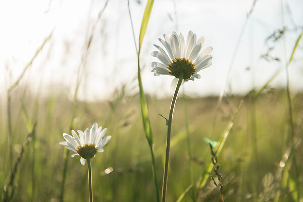 Using a Daisy in the Wild