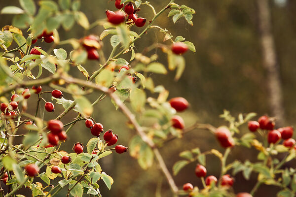Rosehip is a very good plant to eat in the wild